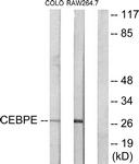 C10650-1 - CEBPD