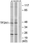 C10702-1 - GTF2A1 / TF2A1