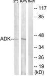 C10739-1 - Adenosine kinase