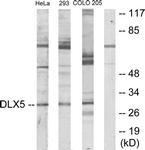 C10748-1 - DLX5