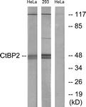 C10751-1 - CTBP2