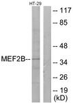 C10843-1 - MEF2B
