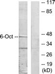 C10863-1 - POU3F1 / OCT6