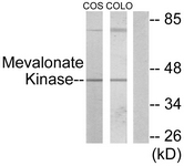 C10868-1 - Mevalonate kinase
