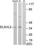 C10931-1 - ELAVL2 / HUB
