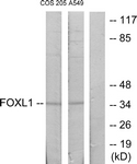 C10939-1 - FOXL1 / FKHL11