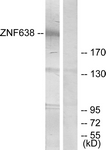 C11052-1 - ZNF638