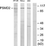 C11058-1 - PSMD2 / TRAP2