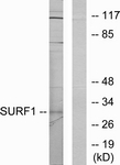 C11080-1 - SURF1