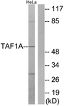 C11088-1 - TAF1A