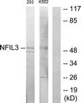 C11134-1 - NFIL3