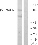 C11136-1 - MAPK6 / ERK3