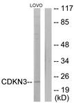 C11137-1 - CDKN3 / CIP2
