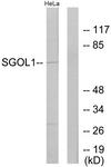 C11176-1 - SGOL1 / SGO1