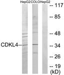 C11182-1 - CDKL4
