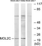 C11242-1 - MOBKL2C