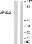 C11250-1 - ARMCX2 / ALEX2