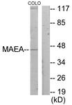 C11253-1 - MAEA