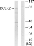 C11345-1 - Doublecortin-like kinase 2