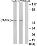 C11363-1 - CAMKV