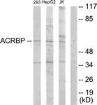 C11366-1 - Acrosin-binding protein / ACRBP