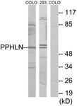 C11370-1 - Periphilin 1