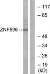 C11388-1 - ZNF596