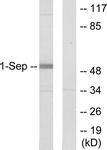 C11420-1 - Septin-1 (SEPT1)