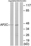 C11429-1 - AP2-gamma / TFAP2C
