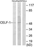 C11440-1 - CUGBP1