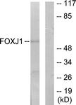 C11446-1 - FOXJ1 / FKHL13
