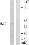 C11470-1 - Islet-2 / ISL2