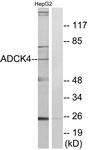C11484-1 - ADCK4