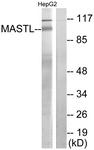 C11491-1 - MASTL
