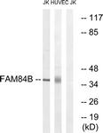 C11509-1 - FAM84B