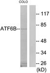 C11585-1 - ATF6 beta