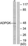 C11602-1 - ADPGK