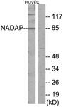 C11628-1 - SLC4A1AP / HLC3