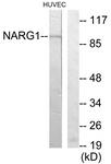 C11637-1 - NARG1