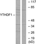 C11643-1 - YTHDF1