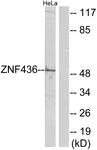 C11660-1 - ZNF436