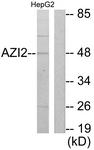 C11698-1 - AZI2 / NAP1