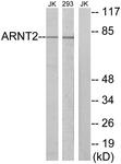C11723-1 - ARNT2