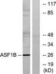 C11765-1 - ASF1B