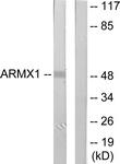 C11801-1 - ARMCX1 / ALEX1