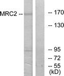 C11813-1 - CD280 / MRC2