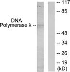 C11836-1 - DNA polymerase lambda