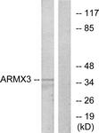 C11839-1 - ARMCX3 / ALEX3