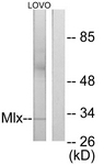 C11841-1 - Max-like protein X