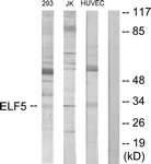 C11875-1 - ELF5 / ESE2